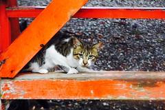 Today's Cat@2016-09-18 (masatsu) Tags: cat thebiggestgroupwithonlycats catspotting pentax mx1