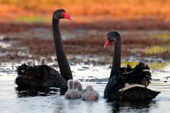 Swans and Cygnets (blachswan) Tags: portfairy victoria australia ocean southernocean sandycovereserve cygnet cygnusatratus familly water black swans