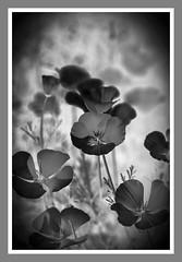 Flower study - HMBT! Explore 30.9.2016 thanks! (Jo Evans1 - still trying to catch up!) Tags: mono bokeh thursday flower study poppies black white