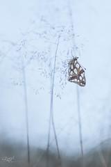 Petit Nacr (Issoria lathonia) (hick_patrice) Tags: nature macro buterfly