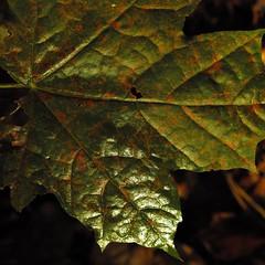 Herbst (Simy_Orifici) Tags: grn green nature wald baum laub blatt