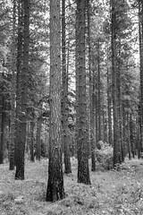 Soaring Timber BW (Don Thoreby) Tags: suncadiaresort cascades cascaderange cascademts cascademountains forest ponderosapines
