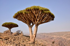 Dragon's Blood Tree, Socotra Island (Rod Waddington) Tags: middle east socotra island yemen yemeni dragons blood tree dracaena cinnabari landscape
