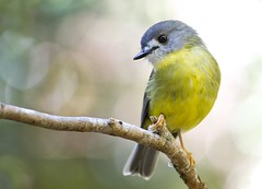 Pale-yellow Robin (petefeats) Tags: nature australia queensland mountglorious