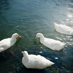 Ducks (TAT_hase!) Tags: film duck kodak c hasselblad portra inuyama planar  160 80mm carlzeiss  66 503cxi