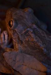 Macro Frog-Again 028 (VinceFL) Tags: longexposure nature lowlight nikon noflash frog amphibians herps wildflorida worldofgreen manfrottotripod macroexperiments nikond7000 afsdxmicronikkor85mmf35gedvr southernphotographer macrofrogagain