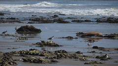 IMG_7802 (ceztom) Tags: california rescue beach santabarbara march marine pacific east 23 geology sealion sandpiper channel bluff goleta ellwood shorebird haskell bacara 2013