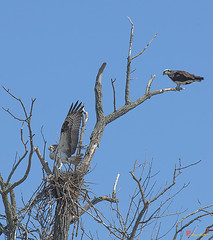 Osprey Delilvering a Stick (DRB158) (Gerry Gantt Photography) Tags: usa bird nature virginia raptor osprey woodbridge naturephotography naturephoto occoquanbaynwr slbnesting occoquanbaynwrwoodbridge