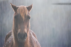 The Rain Will Fall (www.matthansenphotography.com) Tags: horse nature wet rain weather animal mammal wildlife pony downpour wildhorse matthansenphotography