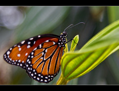 Butterfly Bokeh (DugJax) Tags: butterfly monarch waltdisneyworld epcotcenter monarchbutterfly futureworld ef24105mmf4lisusm internationalflowerandgardenfestival canonrebelt2i bambisbutterflyhouse