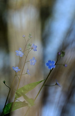 Omphalodes nitida (VitorSousa1975) Tags: flores flower macro nature flora natureza floresta vitor sousa omphalodes nitida