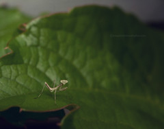 Alien Earthling (snippets_from_suburbia) Tags: macro insect alien ivy prayingmantis