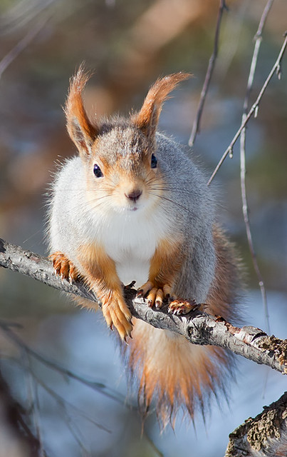 """""""Northern"""" Red Squirrel"""