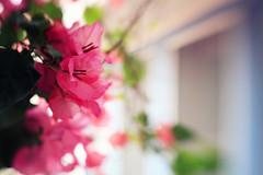 Saturday April 13, 103/365 (eblaser) Tags: flowers magenta bougainvillea bracts