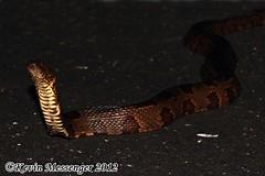 Nerodia taxispilota (Brown water snake) (Kevin Messenger) Tags: brown water canon kevin florida reptile snake wildlife everglades messenger watersnake herpetology nerodia taxispilota kevinmessenger
