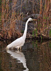 April 21 (rbs10025) Tags: nyc bird manhattan whiteegret greategret morningsidepark ardeaalba