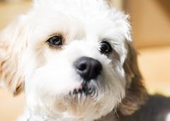 Poppy (Simon-Leigh) Tags: dog white eye d600 cavapoo