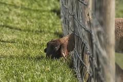 GREENER GRASS (PHOTOGRAPHY|bydamanti) Tags: animals virginia lamb blacksburg southwestvirginia