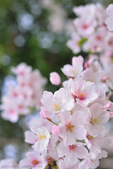 Cherry Blossoms 2013 -3 / DSC_5438 (catphoto.net) Tags: pink flower nature japan season cherry spring nikon blossom sakura