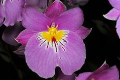 Miltoniopsis hybrid (Nurelias) Tags: flowers flores orchid flower color macro fleur beautiful forest photography flora nikon rainforest colorful orchids orchidaceae tropical orquidea orchidee makro flore orchideen d7100 orchidales