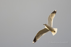 Seagull 2 (A.Sundell) Tags: sky lake bird nature rain weather birds animal prime long pentax sweden seagull natur swedish sharp 300mm da raindrops birdsinflight tele sverige panning vatten f4 tracking afc seabird seabirds bif fglar himmer sj djur fgel vstmanland ms surahammar naturfoto fiskms weathersealing framns sjfgel sjfglar naturphoto smcpda300mmf40edifsdm da300mm pentaxda300mmf4 pentaxda3004 pentaxk5