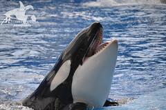 (Megakillerwhales) Tags: dolphin malia dolphins whale whales orca seaworld kayla shamu killerwhale orcas tilly killerwhales katina orcawhales nalani seaworldorlando shamushow orcawhale oneocean trua tillikum orcashow nikond3100 makaiko nalanidreamer megakillerwhales