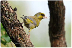 Male European Greenfinch  Grnfink  (M.A.K.photo) Tags: nature birds animals germany garden deutschland wings nikon europa europe hessen outdoor wildlife vgel garten birdwatching greenfinch carduelischloris birdwatcher naturesfinest europeangreenfinch supershot nbw grnfink bwg naturefinest naturewatcher natureselegantshots nikonflickraward fantasticwildlife distinguishedbirds birdperfect mybestwildlife photospourtousphotosforall