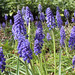 Spring Flowers - Grape Hyacinth 2