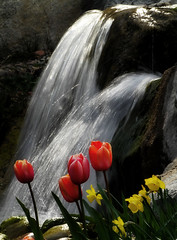 Four Tulips With Daffodils (arbyreed) Tags: flowers red water waterfall tulips tulip daffodils springflowers provo redtulips utahcountyutah arbyreed