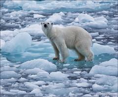 Cold feet (Hkon Kjllmoen, Norway) Tags: coastguard ice norway is norwegian polarbear sn isbjrn 2013 twtmeiconoftheday kvsvalbard mygearandme sunrays5