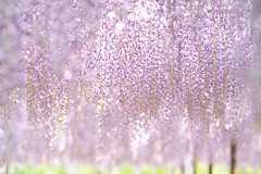 20130429 Okazaki Park 1 (BONGURI) Tags: nikon 愛知 aichi okazaki wisteria 藤 岡崎 フジ 岡崎公園 okazakipark d3s afnikkor180mmf28difed gettyimagesjapan13q2 gomangokufuji 五万石藤 okazakikouen