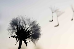There's music in silence (greekadman) Tags: music spring dandelion note minimalist