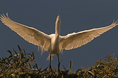 Take Off (cetch1) Tags: heron nature birds northerncalifornia birding egret greategret rookery nesting ardeaalba breedingplumage matingbehavior northerncaliforniawildlife ninthstreetrookery