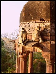Just Chilling... (_ami) Tags: monkeys jaipur 2012 ranthambore langurs ranthamborefort