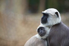 Snuggling Gray-langurs (generalstussner) Tags: cute snuggle monkey eyes dof child bokeh mother cuddle ape monkeys apes 135mm snuggling hanumanlangurs ef135mmf2lusm graylangur 5dmarkiii