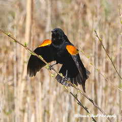 SPRING WING FLING (Aspenbreeze) Tags: bird wildlife ngc blackbird redwingblackbird wildbird specanimal coloradowildlife aspenbreeze moonandbackphotography rememberthatmomentlevel1 bevzuerlein
