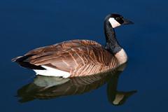Canada Goose (Heidi Schuyt) Tags: reflection bird birds geese goose canadagoose inglewoodbirdsanctuary