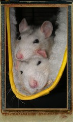Two tired cozy rats (Scratchblack) Tags: pet cute animals wow rodent cozy rat adorable sleepy tired noses roan djur agouti omnivorous myser rtta tyrande alleria gnagare alltare myshg
