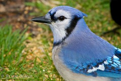 Blue Jay Head Portrait (Brian Morin) Tags: canada birds animal wildlife bluejay newbrunswick drummond cyanocittacristata