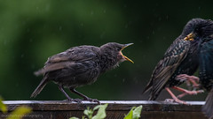 about time you got here... (markhortonphotography) Tags: bird canon insect babies feeding young starling surrey 7d fledgling sturnusvulgaris mealworms deepcut surreyheath 100400l eos7d