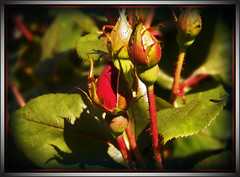 Gonna be a Knockout! (MissyPenny) Tags: red roses flower green leaves garden buds bristolpennsylvania kodakz990 pdlaich missypenny