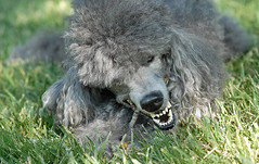 23_52/2 Chomp (The Pack) Tags: dog silver tag teeth poodle chow bite chewing stick standard standardpoodle 85mmf14 nomnomnom 52weeksfordogs