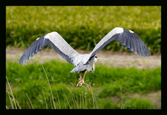 gray heron II (xlod) Tags: vacation bird heron nature netherlands animal urlaub natur grayheron tier vogel niederlande reiher julianadorp graureiher