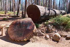 Giant Sequoias, Mariposa Grove (Janitors) Tags: sequoia giantsequoias mariposagrove