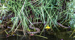 Pond visitor this evening! Grass snake (Natrix natrix) (fred.canon) Tags: grass pond snake essex grasssnake