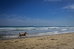Riporto (SDB79) Tags: mare roseto degli abruzzi italia abruzzo cane animale primavera spiaggia litorale acqua