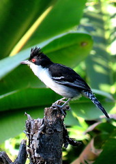 Chor Boi - Great Antshrike (cariselazari) Tags: nature wildlife natureza pssaro ave greatantshrike animalsilvestre choroboi