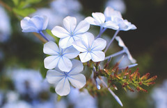 Plumbago (Julia_Kul) Tags: closeup outdoor natural pale park green floral white spring ireland phlox subtle flower botanical summer wildflower petals springtime gardening countryside macro small flora purple forest garden close blue gentle wilderness plant beauty beautiful background wild nature scent pattern pretty delicate irish botany wildlife woodland divaricata plumbago leadwort