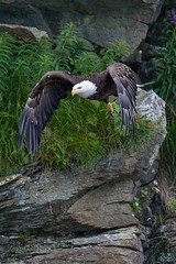 Bald Eagle Dive (Glatz Nature Photography) Tags: alaska nature summer wildanimal wildlife haliaeetusleucocephalus raptor birdinflight onthewing dive baldeagle eagle hunt wings talons beak