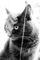 Like a ghost (Vanvan_fr) Tags: monochrome noiretblanc bw blackandwhite animal animalplanet animaldecompagnie cat chat grey gris ombre lumire light shadow reflet reflection portrait eyes look expression regard dof france photo gr littledoglaughednoiret